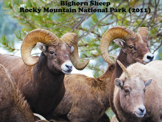 Bighorn Sheep in Rocky Mountain National Park