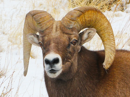 Bighorn Sheep, male, in Rocky Mountain National Park