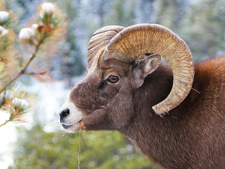 Bighorn Sheep, profile, in Rocky Mountain Park
